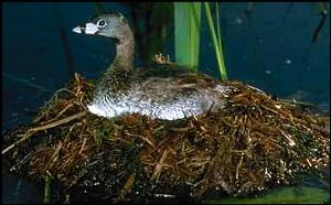 Pied-billed grebe on nest (Stock photo)