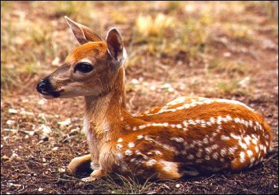 White-tail deer fawn, 34k JPEG
