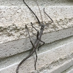 Giant walkingstick (Megaphasma denticrus)
