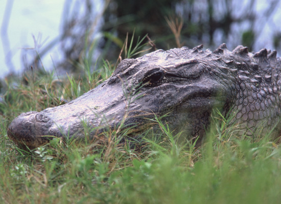 Alligator lounging.Photo © Justin W. Moore
