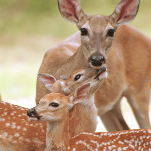 Doe and fawns - Photo © Justin W. Moore